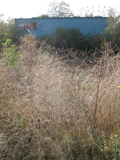 Dartford Weeds