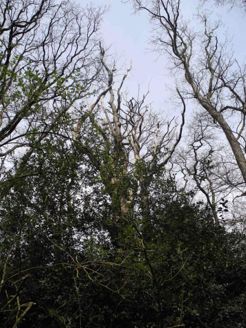Dying oak in Bostall Woods